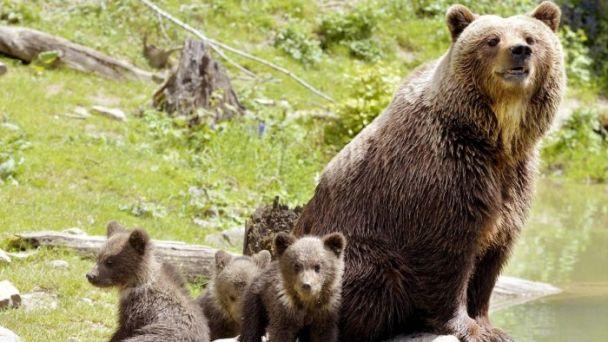 Medvedica s mláďatami